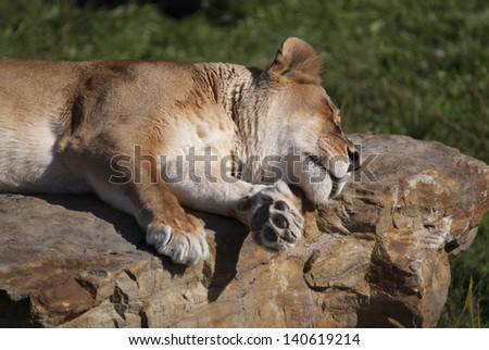 Lioness sleeping on a rock - stock photo