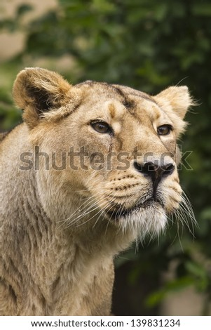 lioness something smells - stock photo