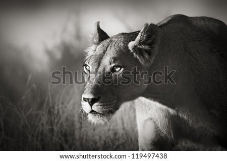 Lioness stalking - Kalahari desert (Artistic processing) - stock photo