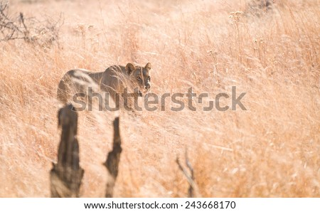 Lioness Stalking through tall grass in Zimbabwe - stock photo