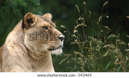 Lioness staring out over its surroundings