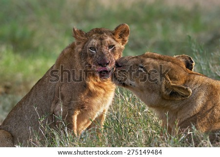 Lioness takes care of her little cub - stock photo