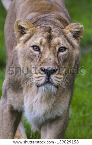 lioness very close up - stock photo