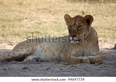 Lioness waking up