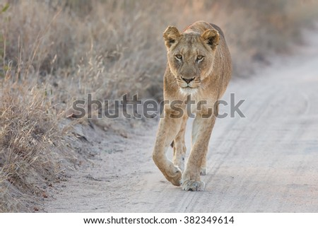 Lioness walking carefully along a dirt road looking attentive forward - stock photo