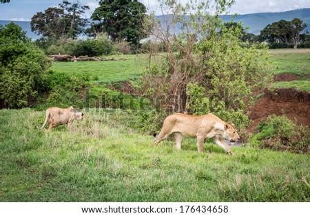 Lioness walking in Ngorongoro Conservative Area - stock photo