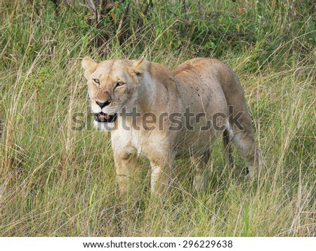 lioness with a lot of ticks on her face and body in tall grass of savannah looking for preys  - stock photo