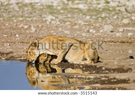 Lioness with cub at waterhole; Panthera Leo;  South Africa