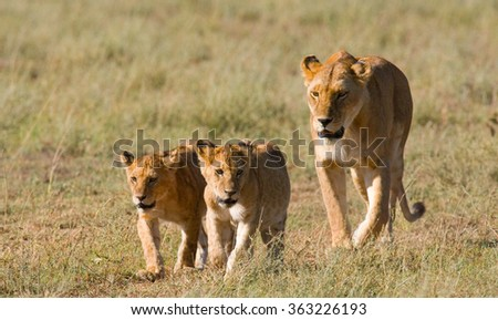 Lioness with cubs in the savannah. National Park. Kenya. Tanzania. Masai Mara. Serengeti. An excellent illustration.