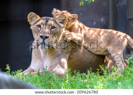 Lioness with one cub hiding on her back - stock photo