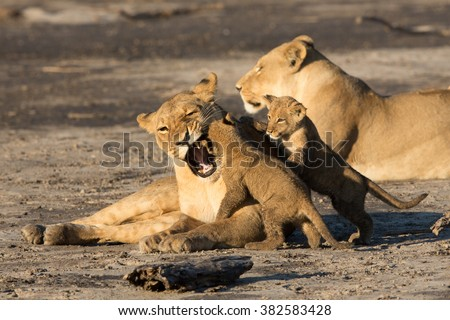 Lioness with two cubs playing in the Savuti reserve in Botswana - stock photo