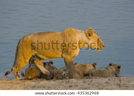 Lioness with young