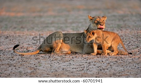 Lioness with young lion cub (Panthera leo) in early morning light, Kalahari desert, South Africa - stock photo