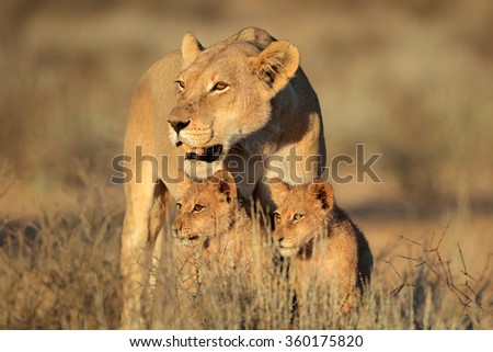 Lioness with young lion cubs (Panthera leo) in early morning light, Kalahari desert, South Africa - stock photo