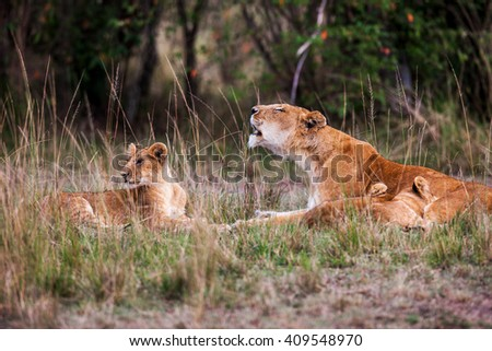 Lioness with young lion cubs (Panthera leo) in the grass,