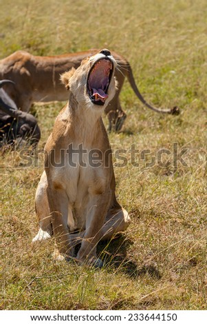 Lioness yawns during light rainstorm. Kenya  Africa - stock photo