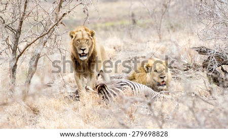 Lionesses gather at a Zebra Kill in Kruger Park, South Africa - stock photo
