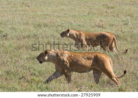 Lionesses on the Prowl in Ngorongoro Crater - stock photo