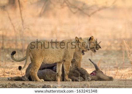 Lionesses (Panthera leo) on African Buffalo (Syncerus caffer) kill - stock photo