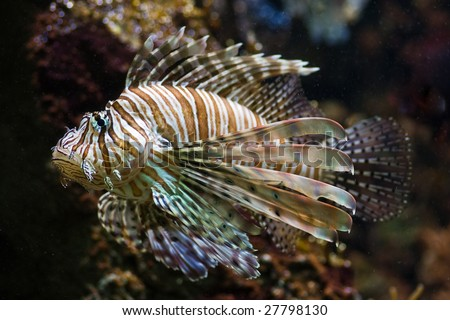 Lionfish, also called: Turkey Fish, Dragon Fish, Scorpion or Fire Fish - stock photo