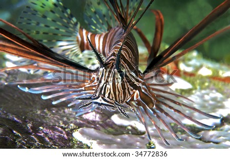 Lionfish close-up.