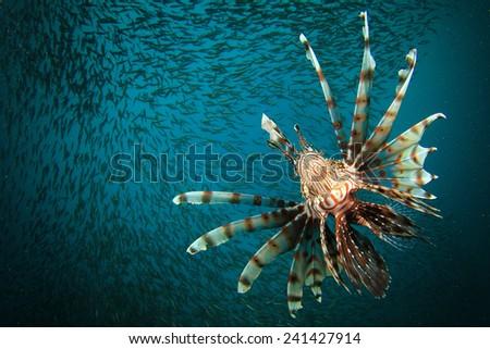 Lionfish hunting - stock photo