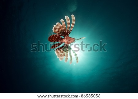 Lionfish in the Red Sea. - stock photo