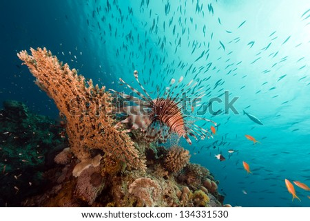 Lionfish over a table coral in the Red Sea - stock photo