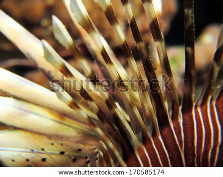 Lionfish poisonous dorsal fin rays in macro lens - stock photo