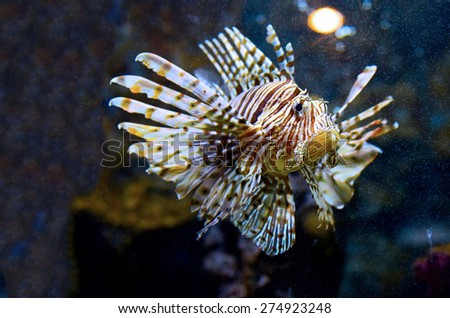 Lionfish portrait among colorful small fishes at the coral reef underwater - stock photo