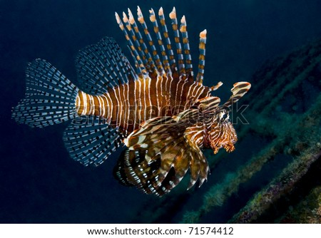 Lionfish (Pterois volitans), also known as a turkeyfish, shot from the side over an artificial reef. Taken in Kapalai, Borneo, Malaysia.