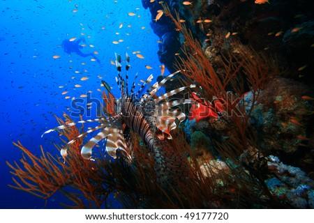 Lionfish watches scuba diver - stock photo