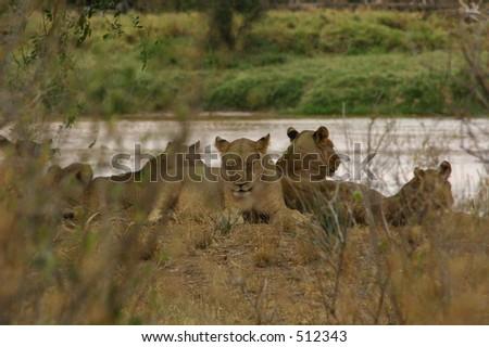 lions - stock photo