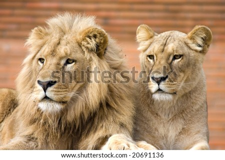 Lions Couple - stock photo
