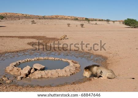 Lions drinking at waterhole, Kalahari Desert - stock photo