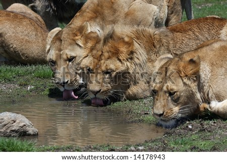 Lions drinking from a puddle - stock photo