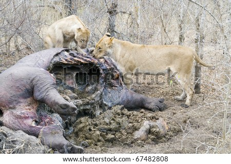 Lions eating a dead Hippo carcass - stock photo