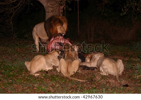 Lions eating on a Blue Wildebeest kill in the rain. - stock photo