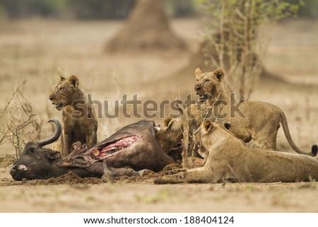 Lions feeding on African Buffalo kill - stock photo