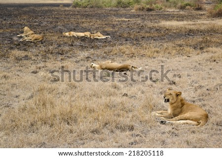 lions in the African bush - stock photo