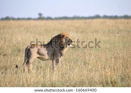 lions in the savannah of africa