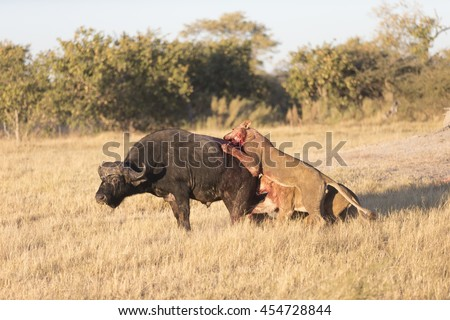 Lions killing an adult male Cape buffalo in Moremi Botswana