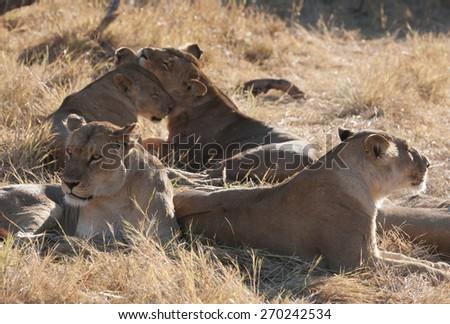 Lions lining in the bush ,Chobe National park, Botswana - stock photo
