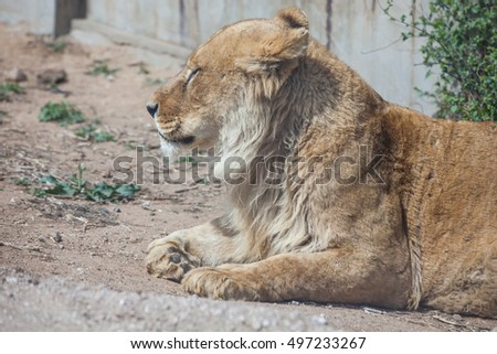 Lions live in the Badaling Wild Animal Park in Beijing, China