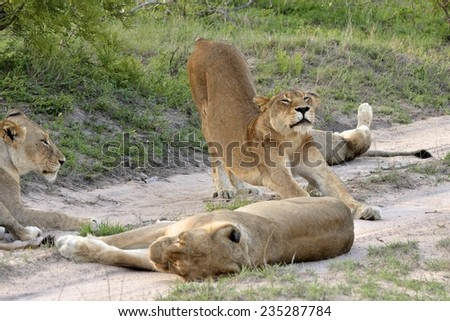 Lions on road - stock photo
