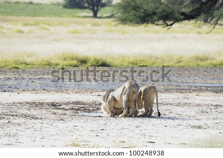 Lions (Panthera leo). Pair drinking at Marie se Gat waterhole, Nossob, kgalgadi trans-frontier Park, South Africa - stock photo