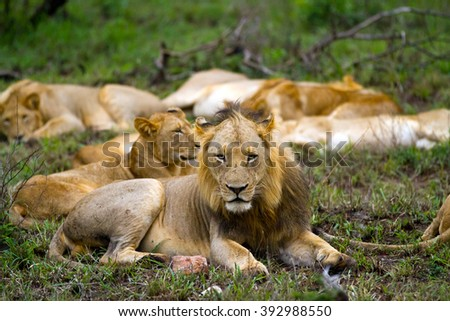 lions pride in the kruger park reserve