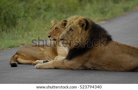 Lions Resting On The Road
