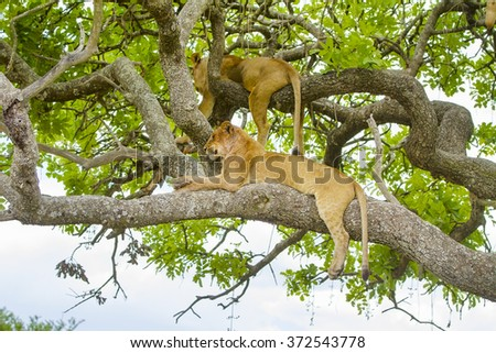 Lions rests in tree a hot day at Serengeti - stock photo