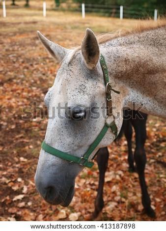 Lipizzan horse, Slovenia - stock photo